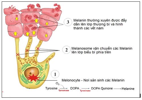 Quá trình sản sinh Melanin được điều tiết bởi kích thích tố/hormone MSH