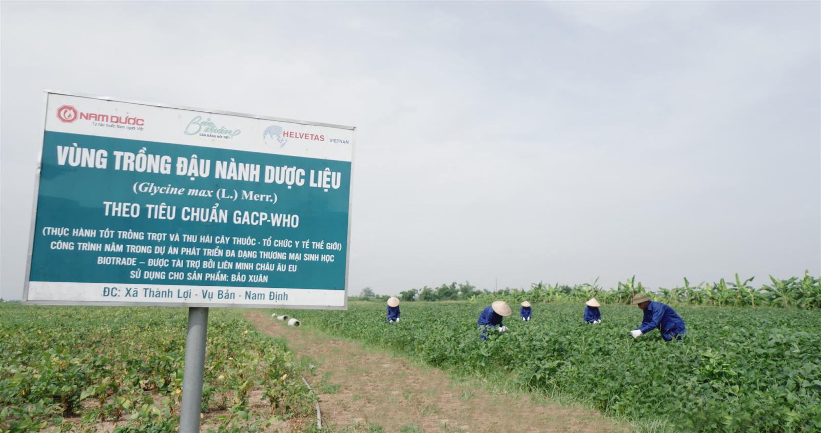 Bảo Xuân có vùng trồng đậu nành dược liệu đạt chuẩn