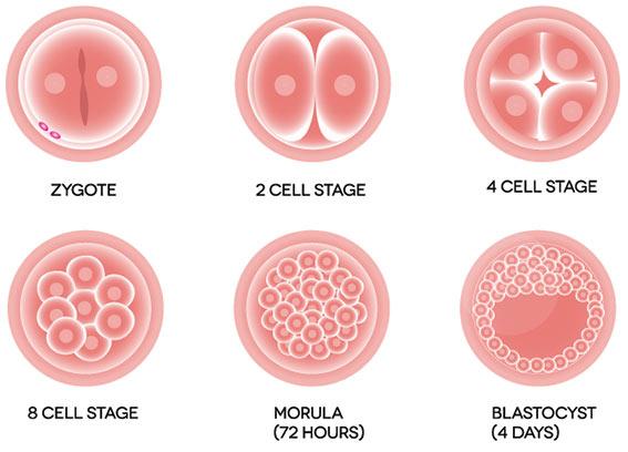 Quá trình hình thai phôi thai như thế nào