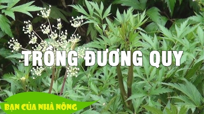 cach-trong-cay-duong-quy-min