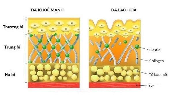 Collagen là một loại protein quan trọng trong cơ thể con người